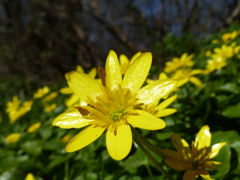 Close-up yellow petalled Celandine flower in Spring