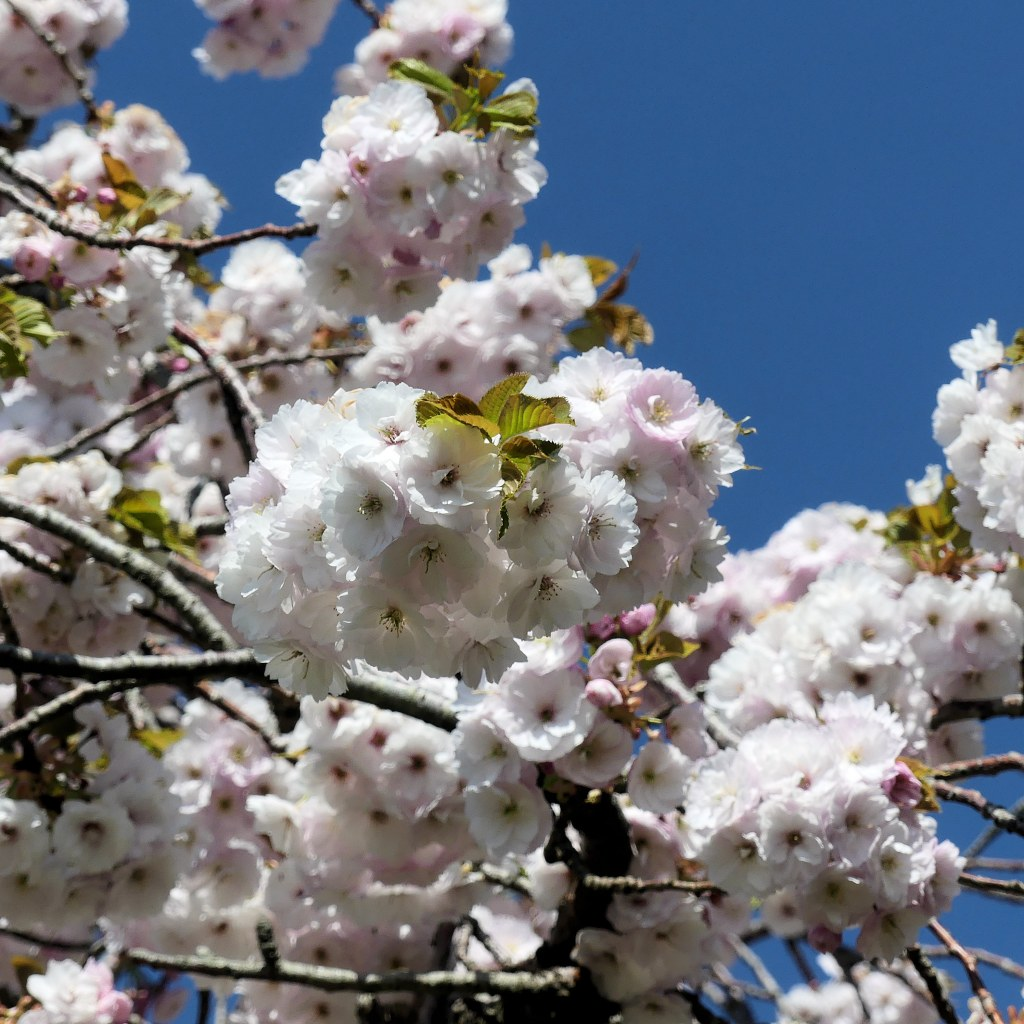 Pale pink double-flowered cherry blossoms on tree with blue sky