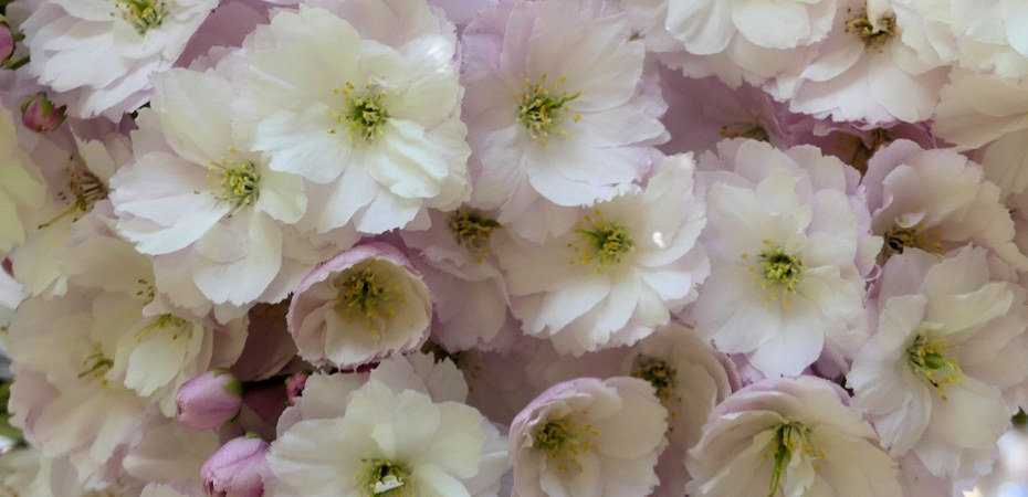 Close-up of Pale pink double-flowered cherry blossoms