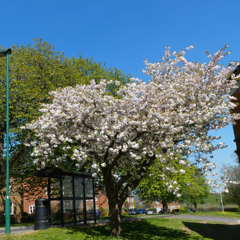 Pale pink double-flowered cherry blossoms on tree by bus stop with blue sky
