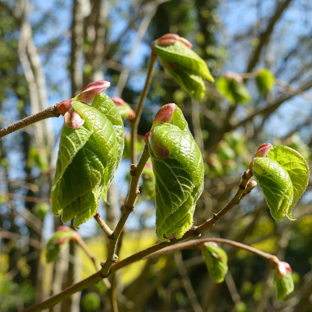 Leaves of a lime tree unfolding from pink buds.