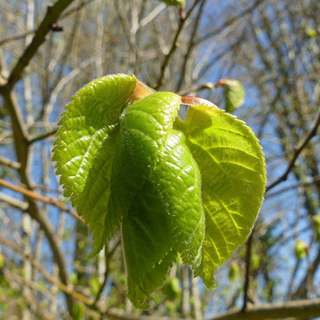 Leaves of a lime tree unfolding from the bud.