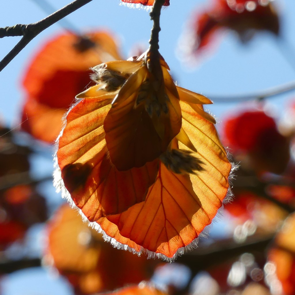 Back-lit newly-opened red leaves of a Copper Beech tree in Spring