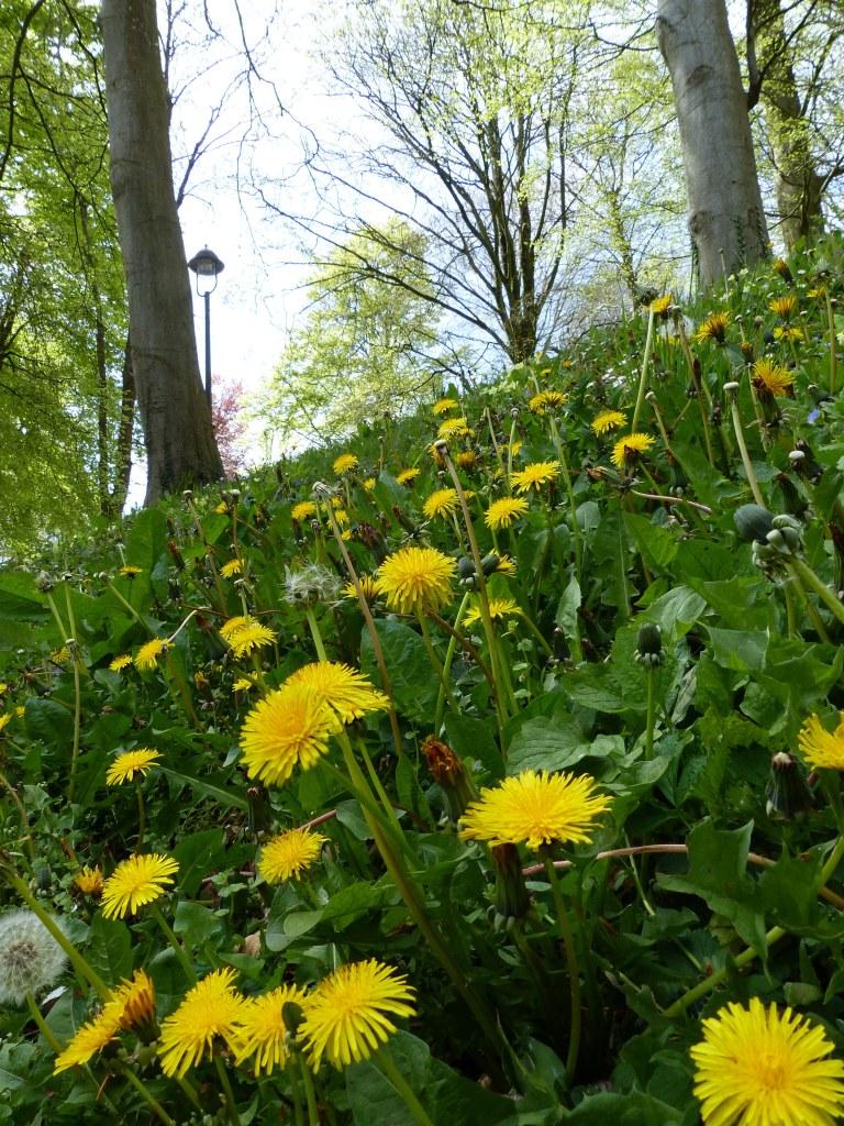 Danelion flowers on a grassy roadside bank.
