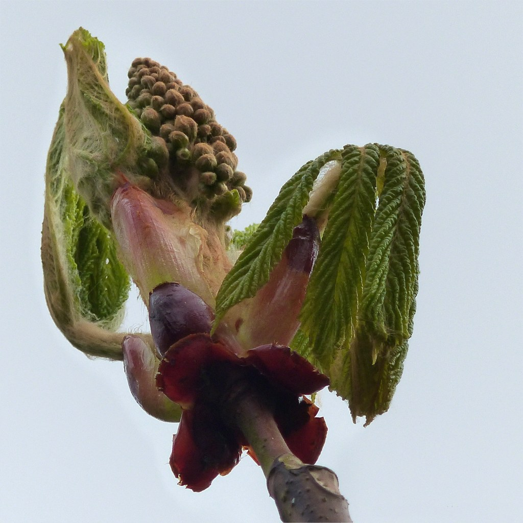 Horse Chestnut leaves in early April