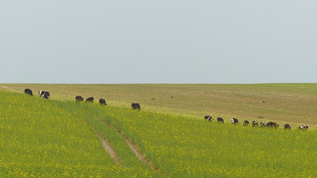 Young cattle feeding on sugar beet at Charlton Down