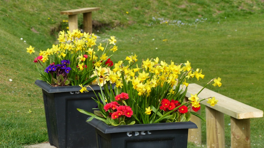 Planters of daffodils and primulas by the cricket pavilion in Charlton Down