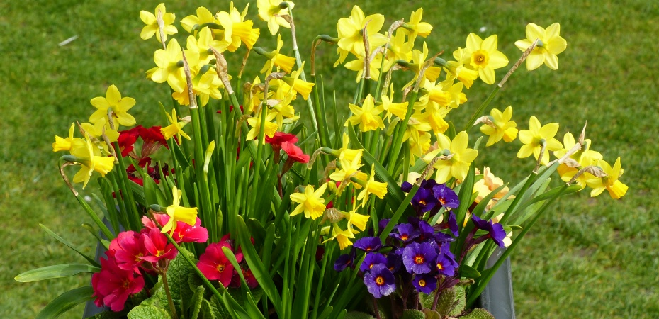 Planter of daffodils and primulas by the cricket pavilion in Charlton Down