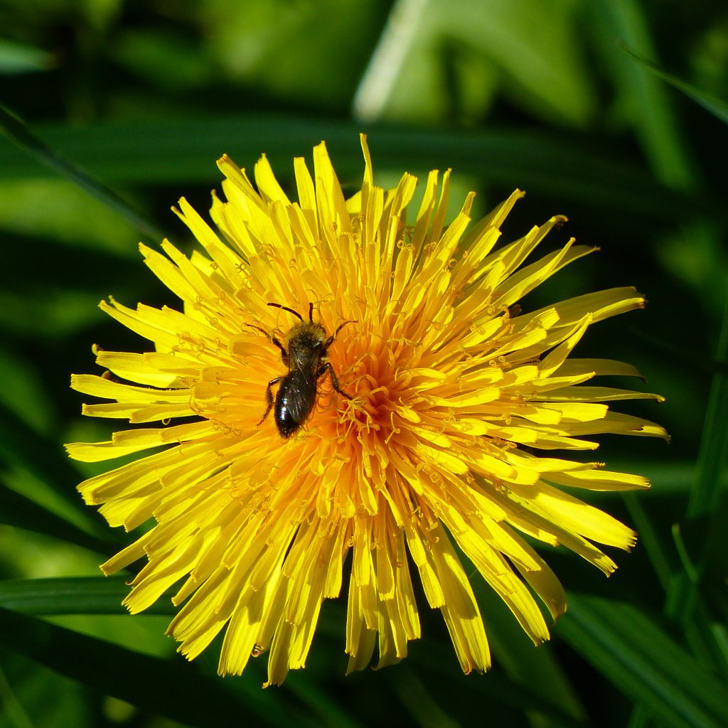 Dandelion close up with bee