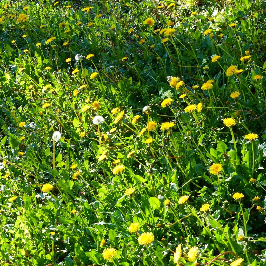 Dandelions on the roadside