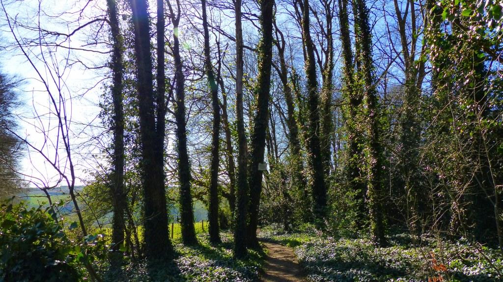 Ramsons or wild garlic growing beneath tall trees