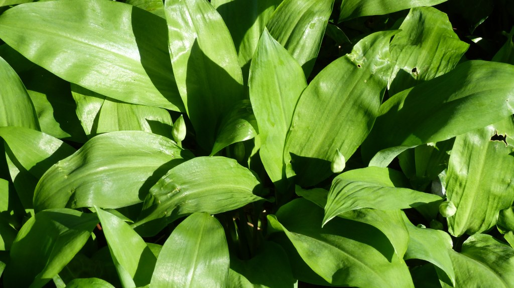 Ramson leaves, or wild garlic, forming ground cover in Spring