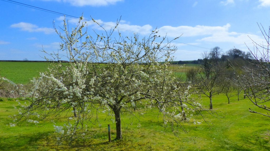 Plum blossoms in Charlton Down Community Orchard in Dorset