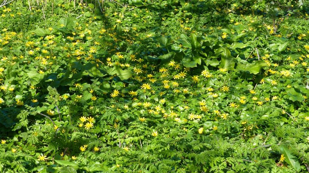 Yellow-petalled Celandine flowers in Spring