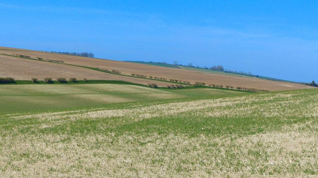 New cereal crop growing in field in April