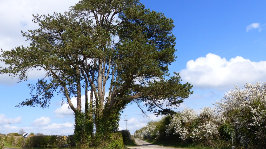 Trees and hedgerows on country lane with blue sky and white clouds in Spring