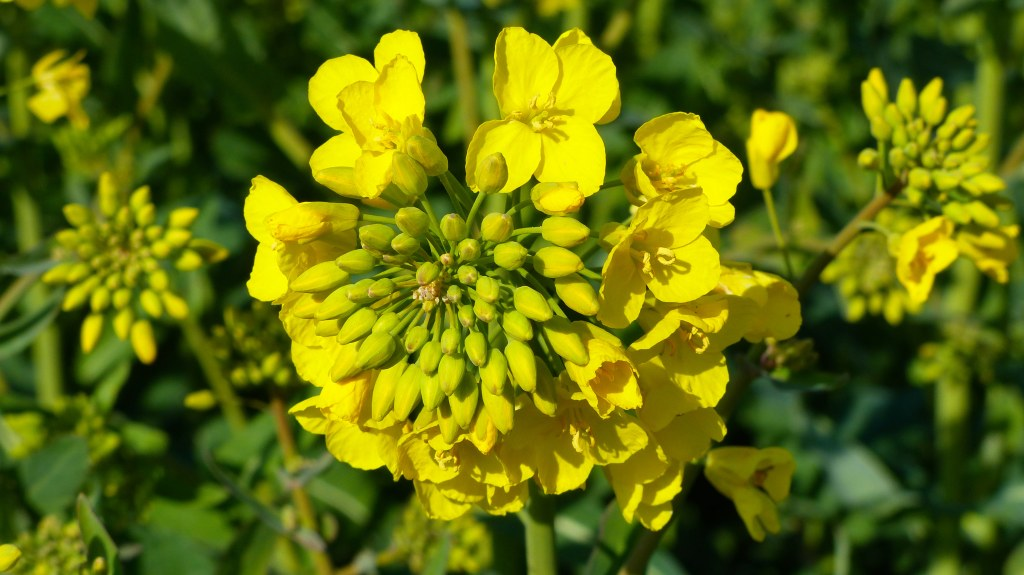 Close-up of yellow flowering oilseed rape