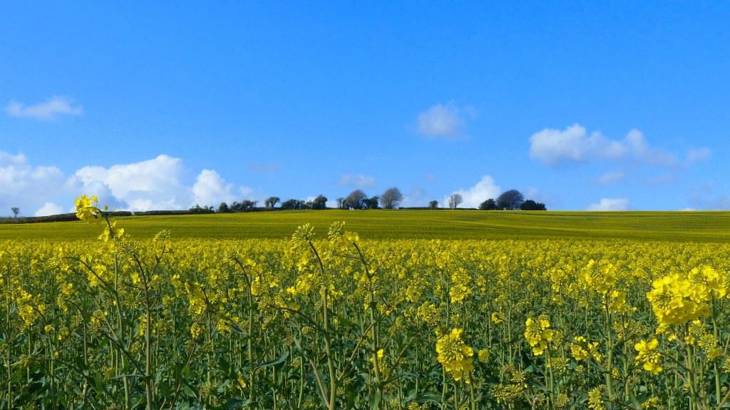 Field of flowering oilseed rape