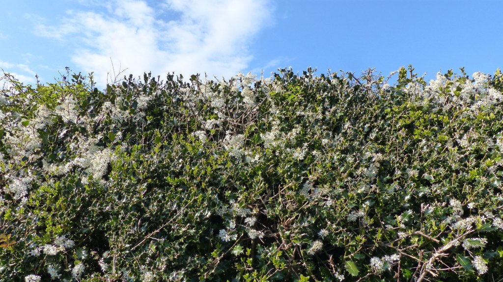 Hedgerow with flowering blackthorn and holly, blue sky.