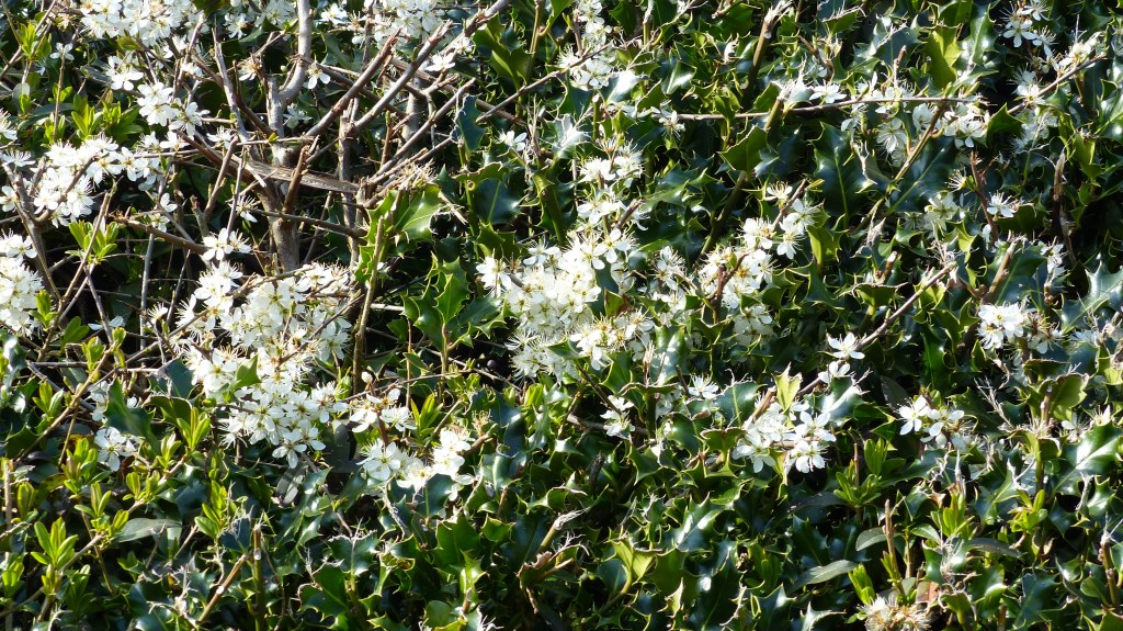 Hedgerow with flowering blackthorn and holly