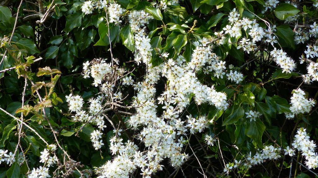 Hedgerow with flowering blackthorn and ivy leaves