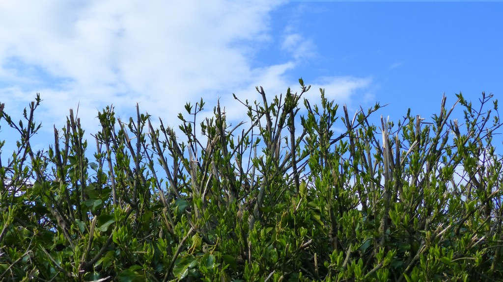 Recently clipped hedgerow with cut elder stalks, blue sky