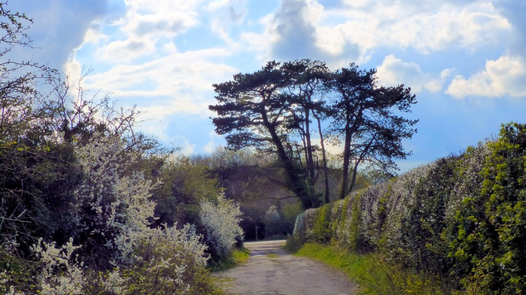 Country lane with pine trees and flowering hedgerows, cloudy sky