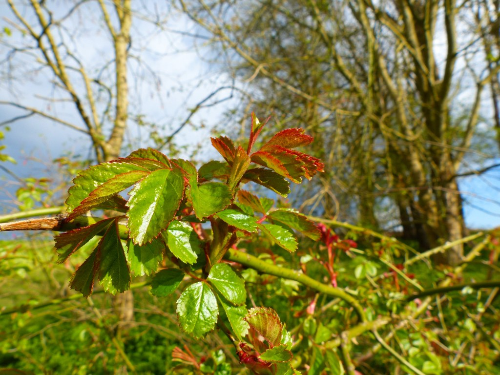 Opening leaves on a wild rose in Spring