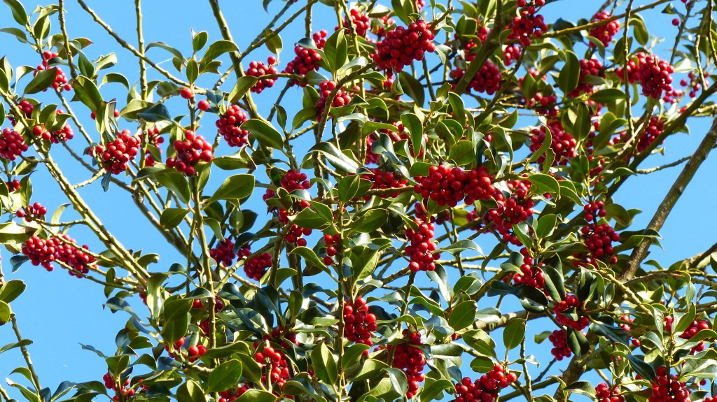 Holly loaded with fresh red berries in a hedgerow in April