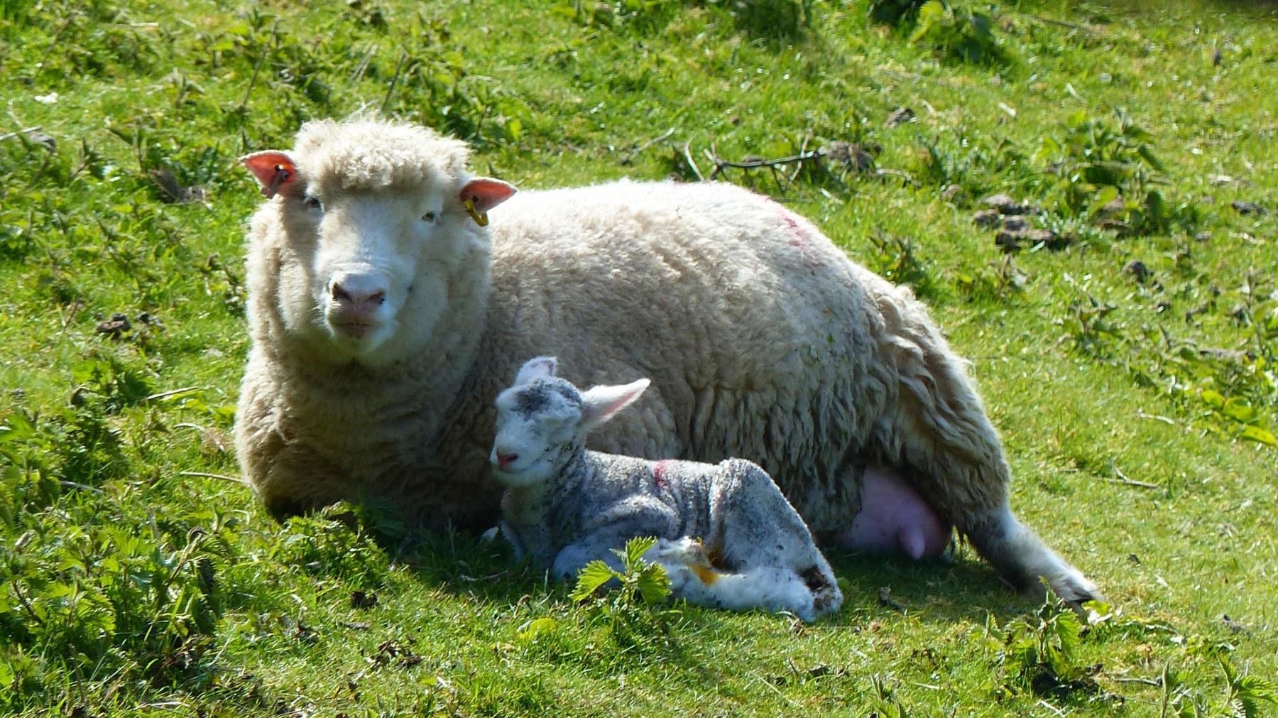 New lamb with mum