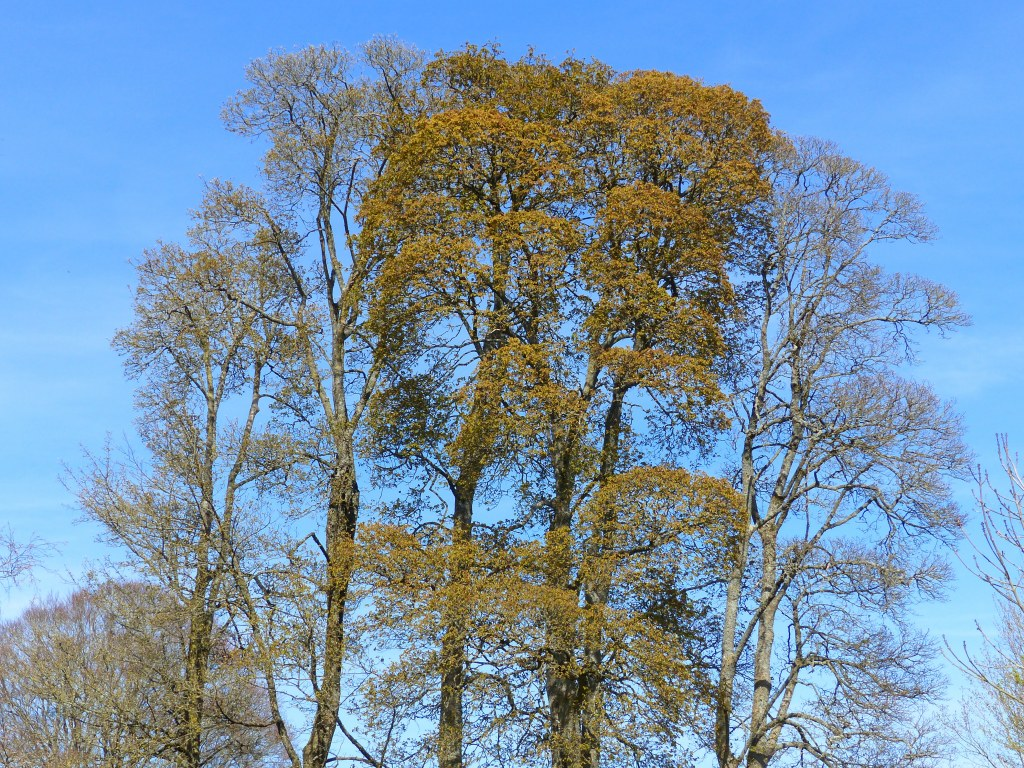 Trees in Spring just coming into leaf and flower with blue sky