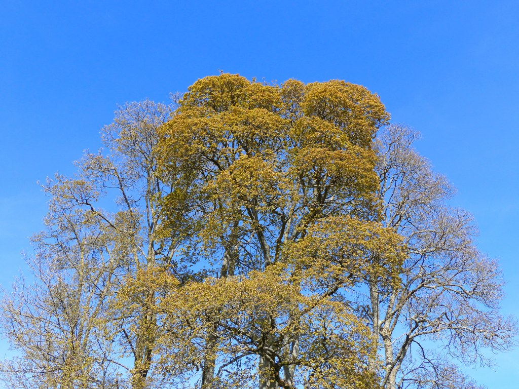 Crowns of trees in Spring with flowers and blue sky