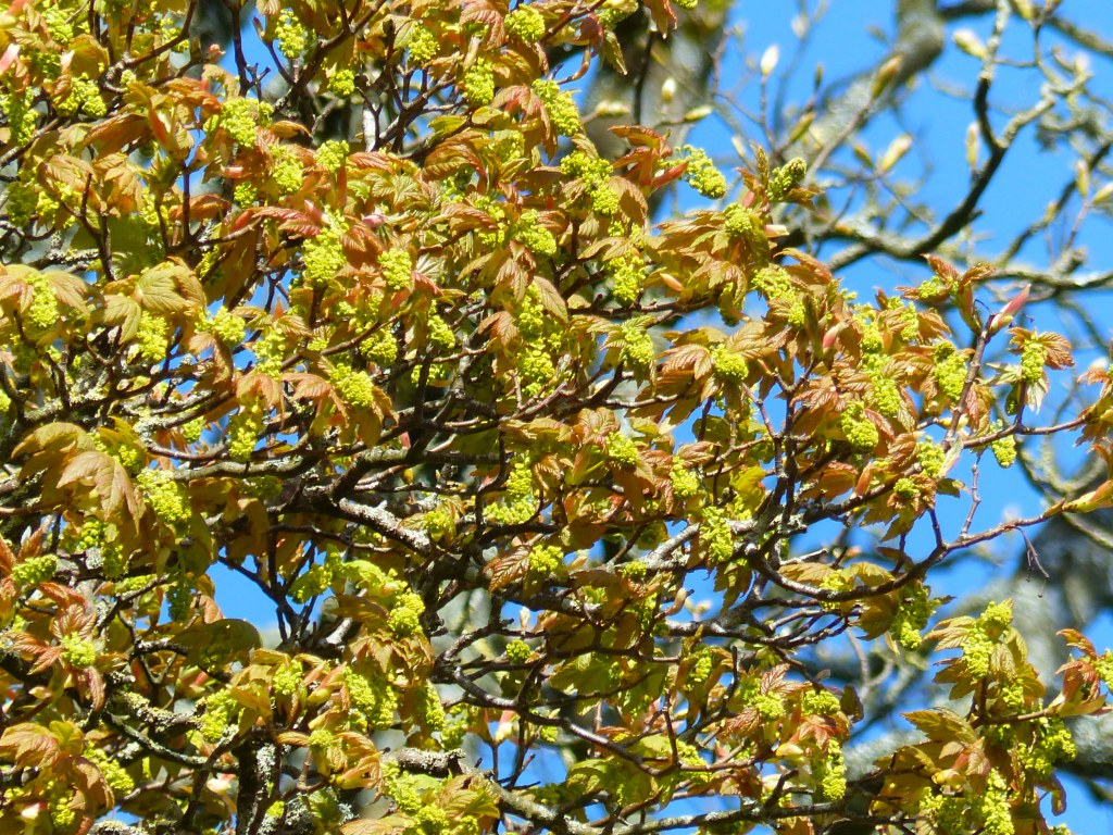 Clusters of flower buds and emerging leaves on Sycamore tree