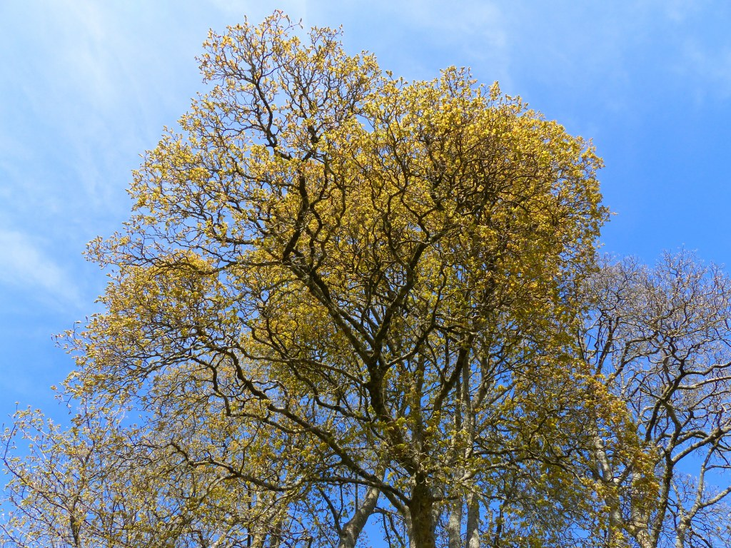 Crowns of trees with Sycamore flowers and blue sky