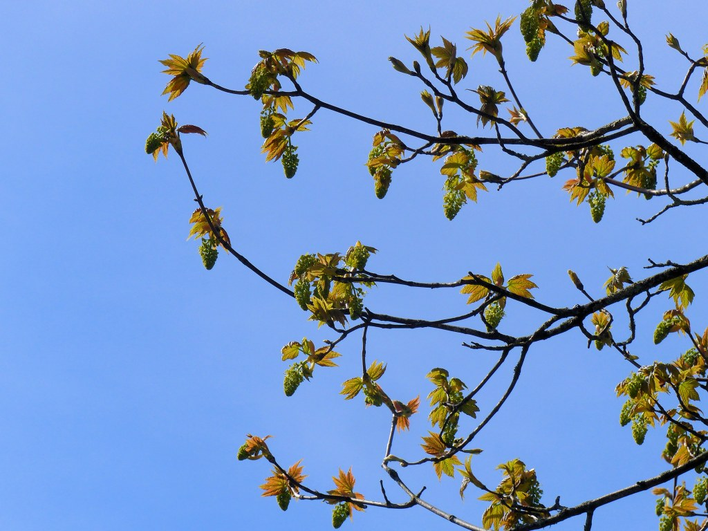 Clusters of flower buds and emerging leaves on Sycamore tree with blue sky