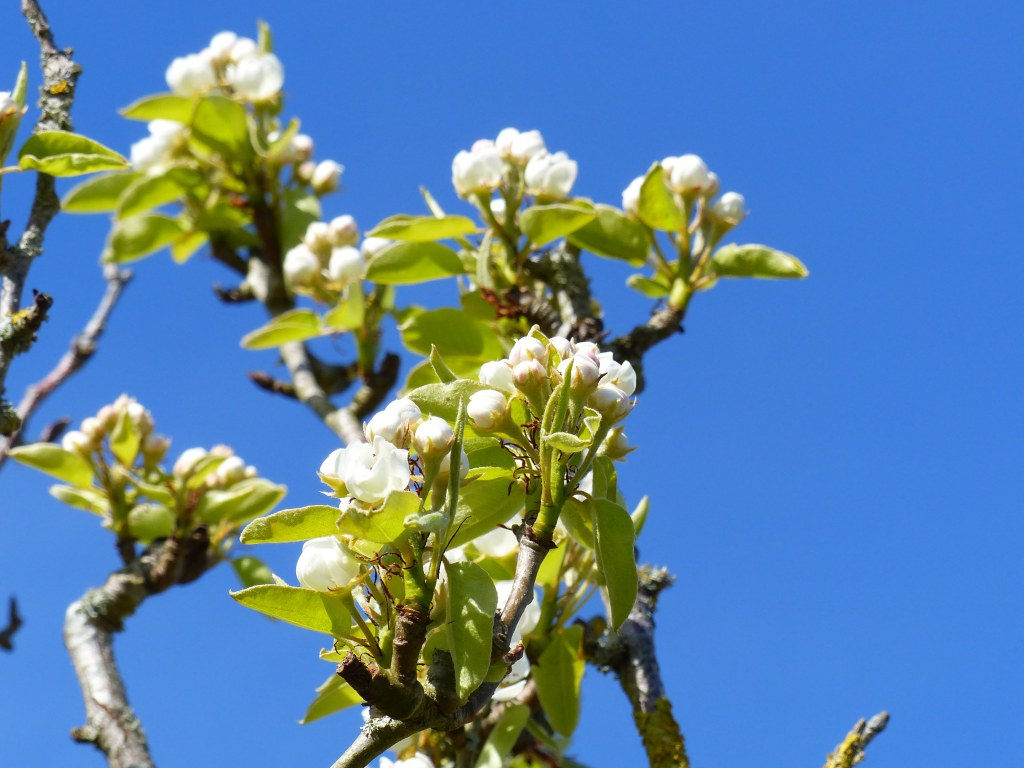 Pear blossoms against blue sky