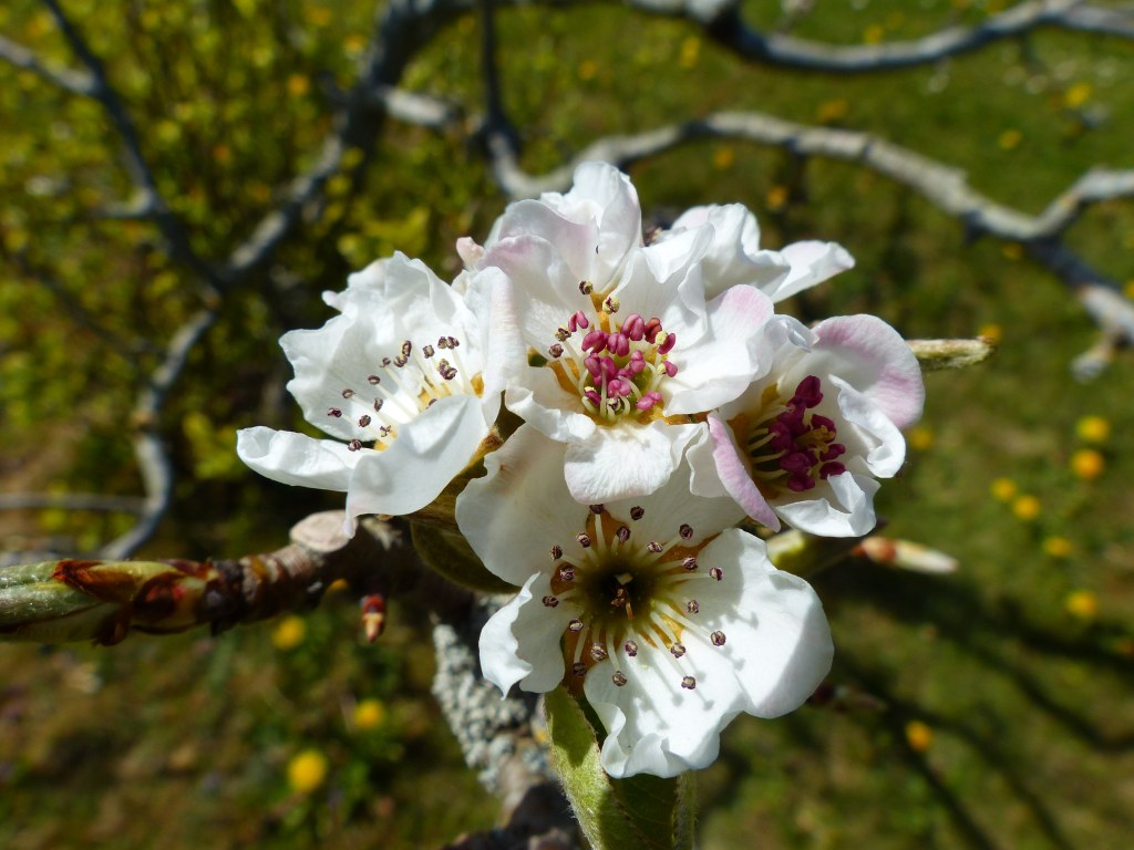 Pear blossoms with red stamens