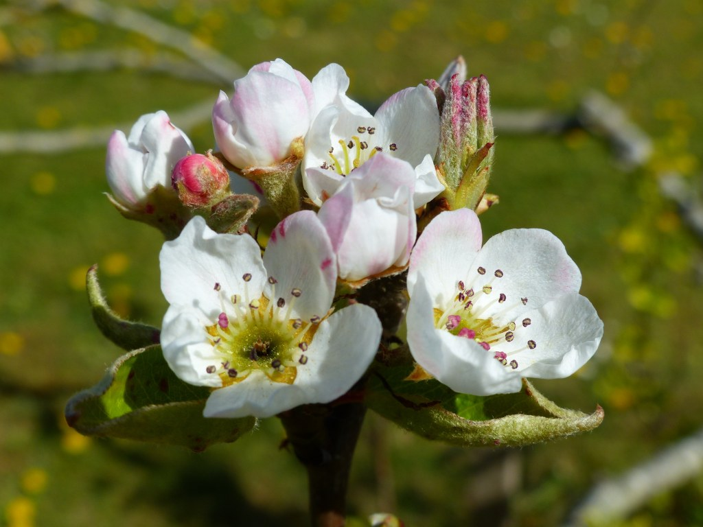 Pear blossoms with green background
