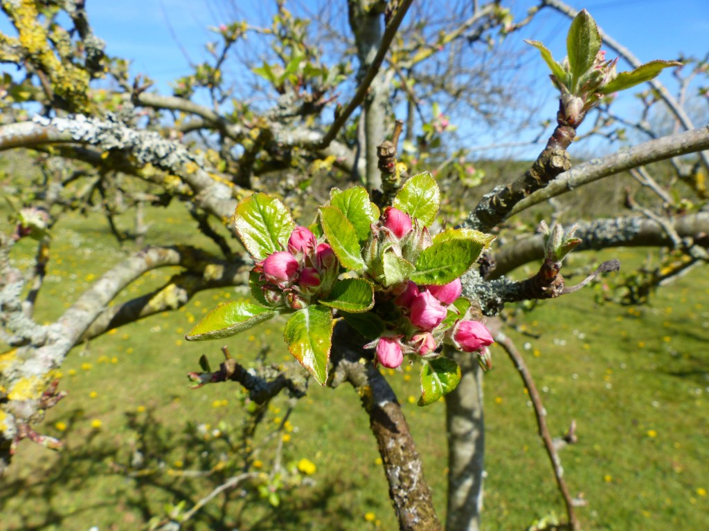 Deep pink apple blossom buds with fresh leaves on tree