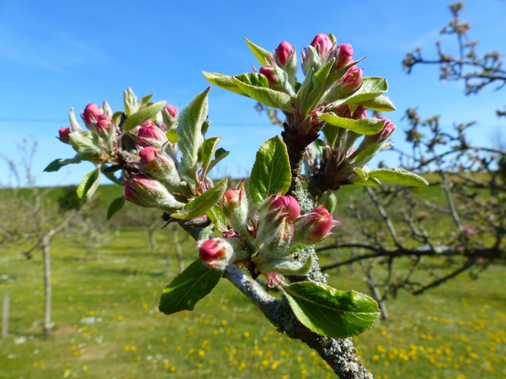 Deep pink apple blossom buds with fresh leaves on tree, blue sky, green grass.
