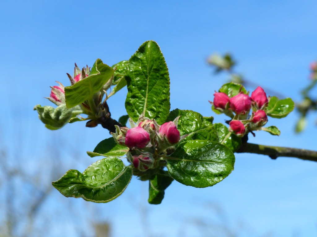 Deep pink apple blossom buds with fresh deep green leaves on tree against blue sky.
