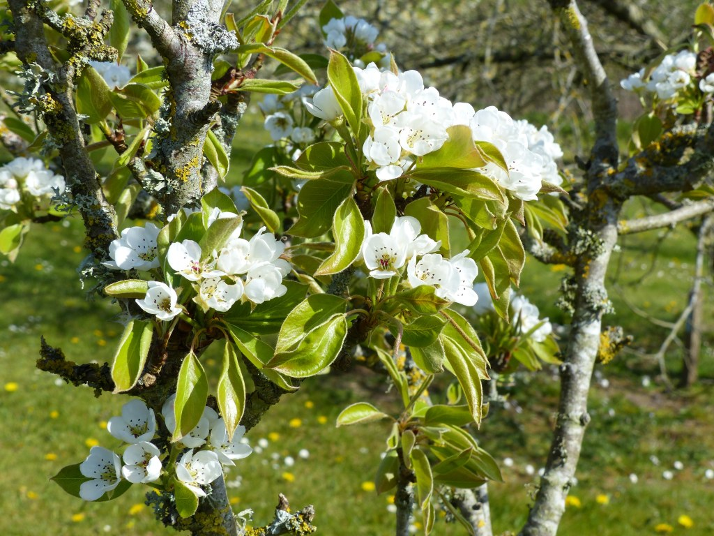 White pear tree flowers and green leaves