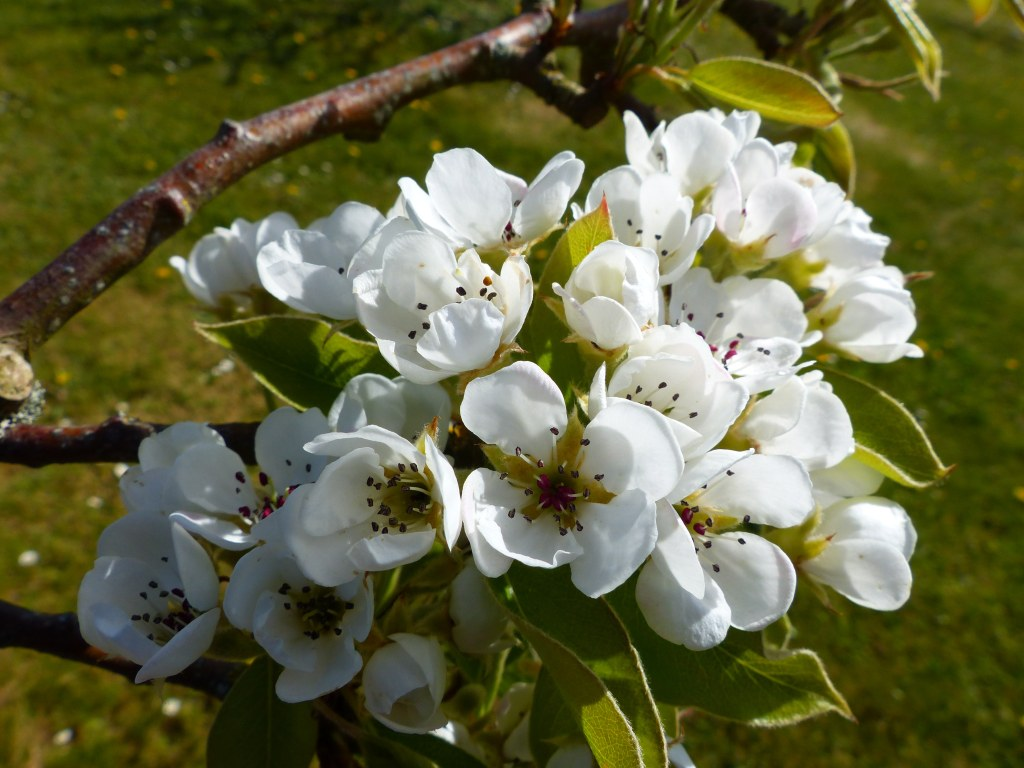 White pear tree blossoms with green background