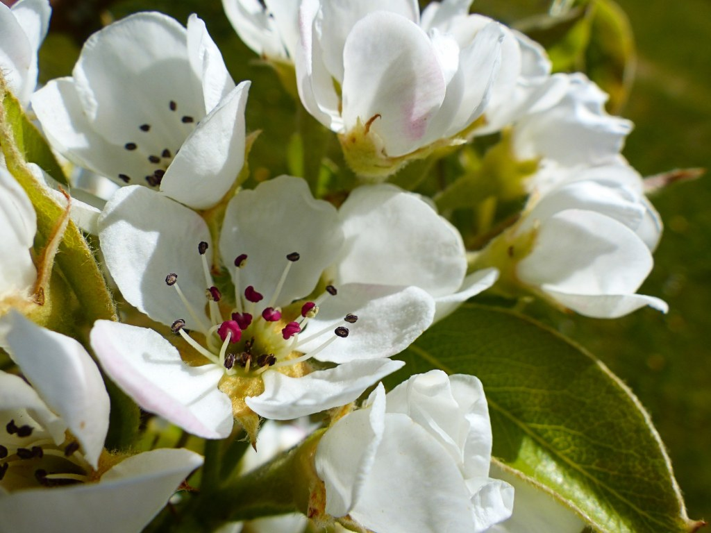 White pear blossoms with red stamens close-up.