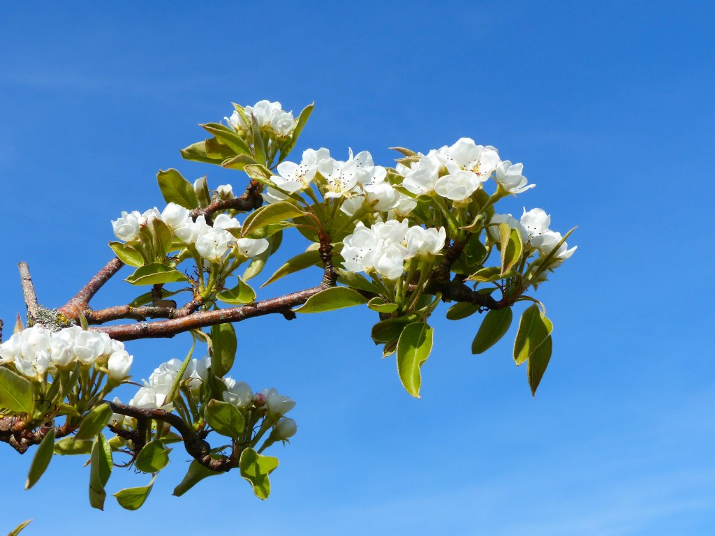 White pear tree blossoms on branch against blue sky