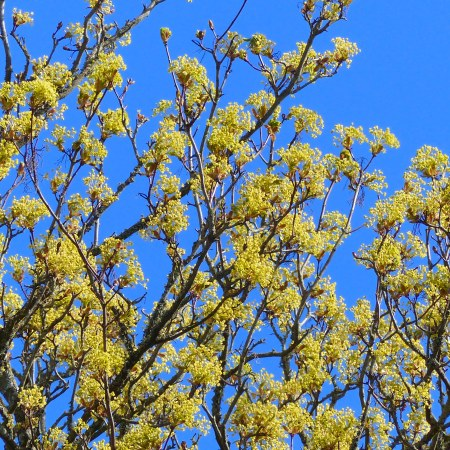 Yellow flowers on a type of maple tree against blue sky