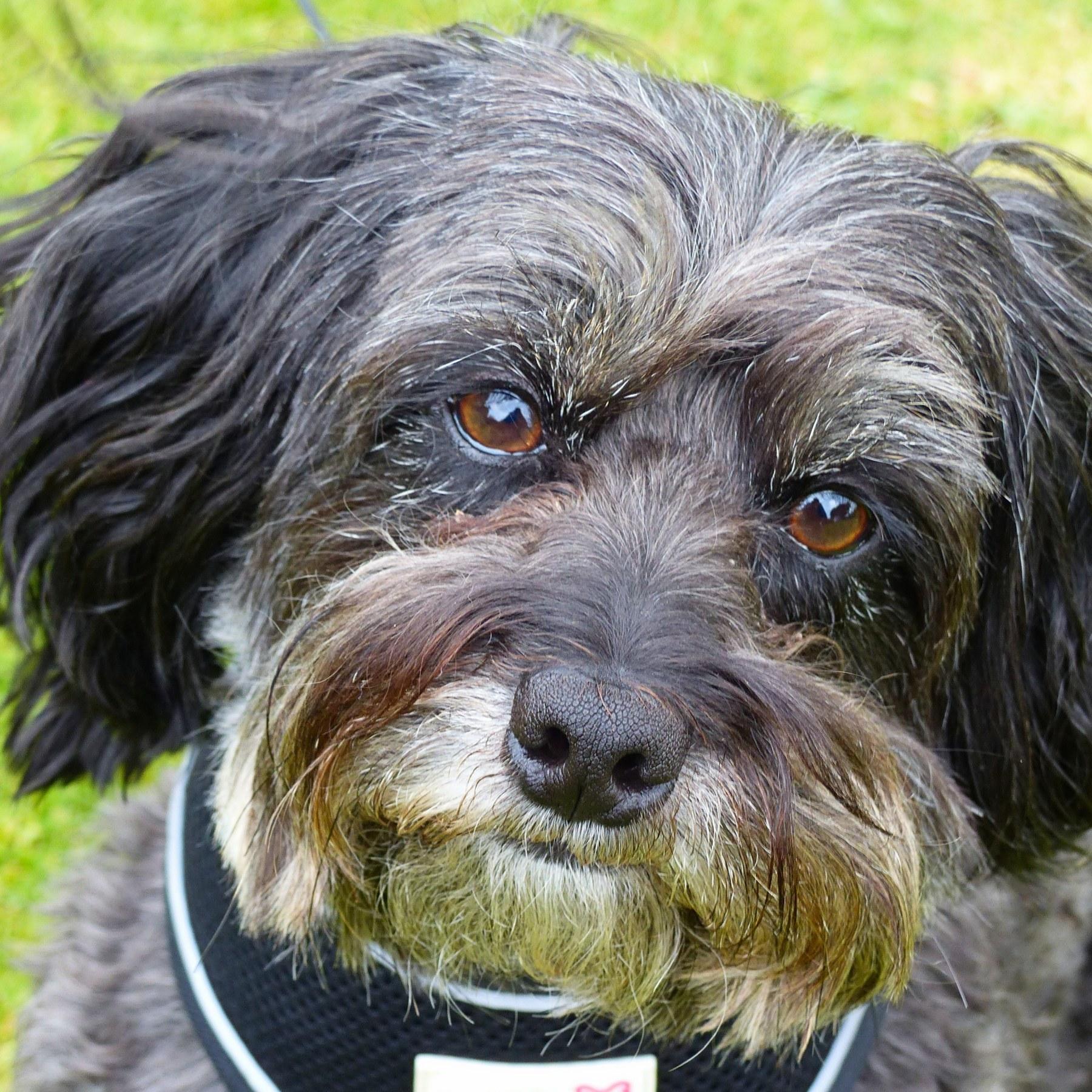Portrait of Louie - a Jackapoo & Russian Toy Terrier dog