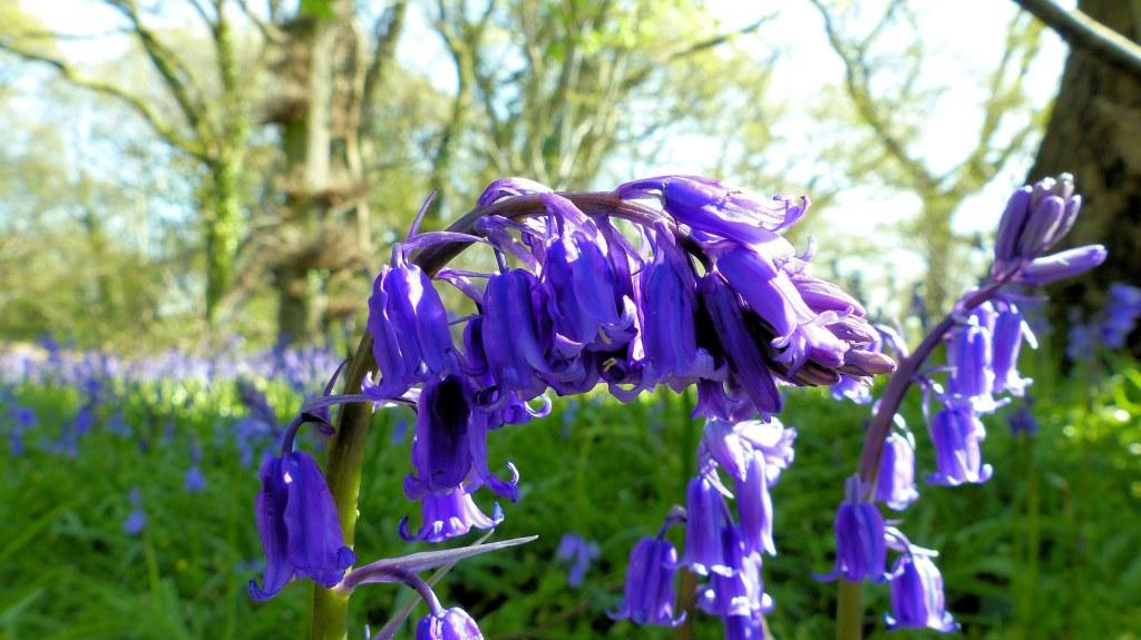 Native bluebell flowers and green vegetation