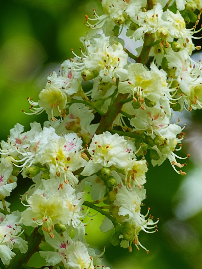 White flowers on a Horse Chestnut tree