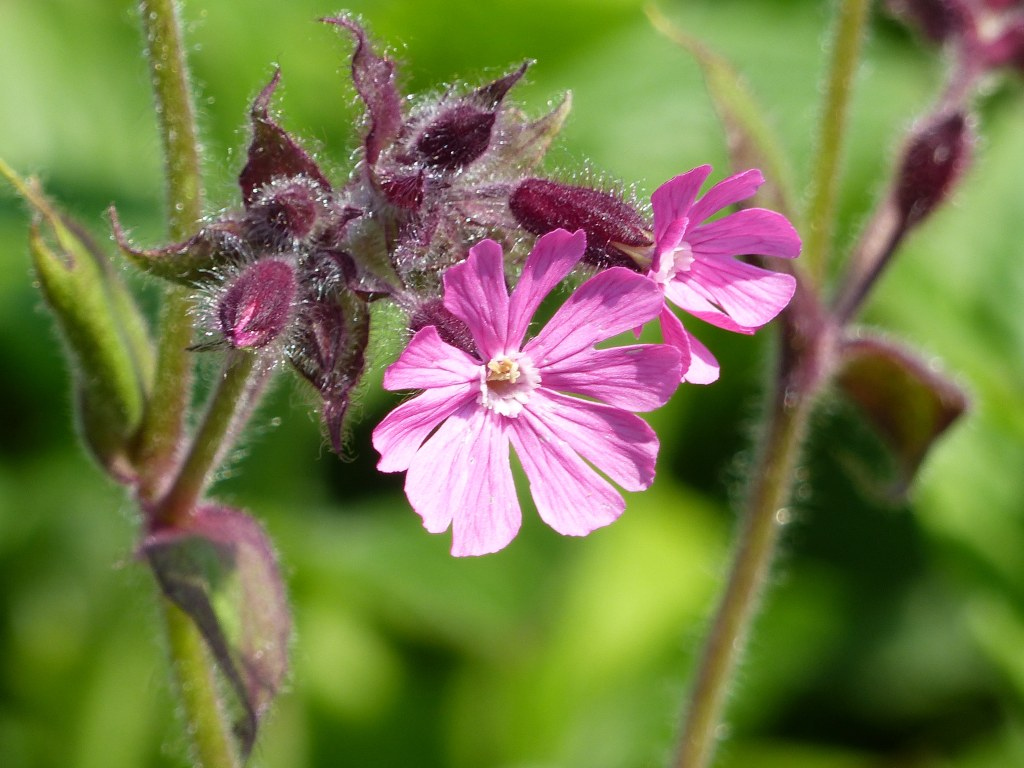 Red Campion flowers and buds